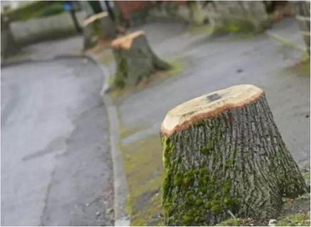 The controversial tree felling programme has rumbled on for eight years.