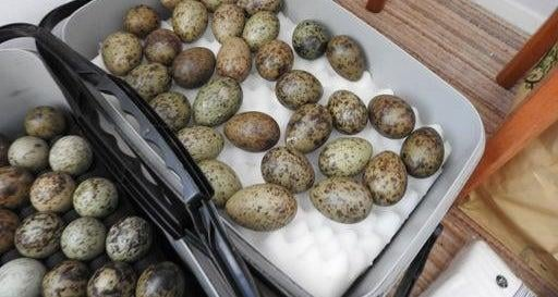 179 black-headed gull eggs were found at home of Terence Potter. Photo credit: The RSPB