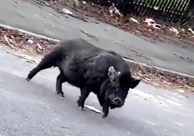 A still from Robbie Hattersley's video of what appears to be a wild boar on the loose on Wardsend Road in Hillsborough, Sheffield (pic: Robbie Hattersley)