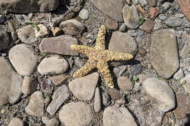 Scott Taylor found this Starfish in the River Don. (Photo by Scott Taylor).
