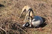 Dog attacked pregnant sheep