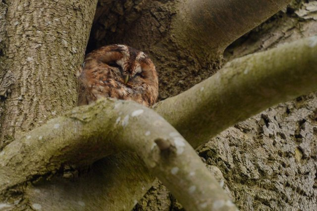 The Lydgate Lane owl rests happily in a tree. Picture: Dean Atkins