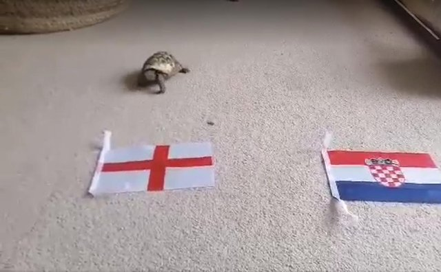 Mystic Theo the tortoise attempts to predict the outcome of England v Croatia at Euro 2020