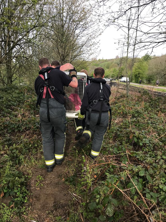 RSPCA rescue a deer from a Rothrham canal.