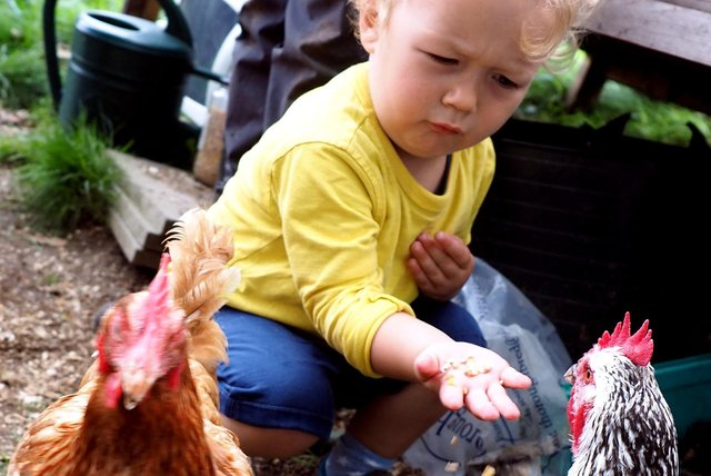Holly Hagg Farm community open day 2019: Oscar Griffith (2) feeding a chicken