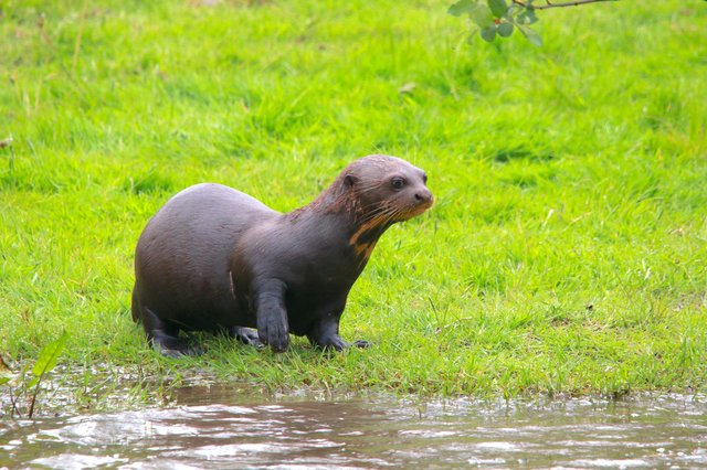 Baby giant otter Bonita made a splashing debut in front of visitors at the Yorkshire Wildlife Park
